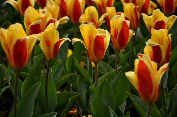 Tulips in Glasgow Botanic Garden