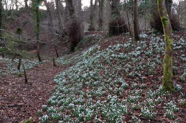 A%20mass%20of%20snowdrops%20at%20Finlaystone%20Country%20Estate