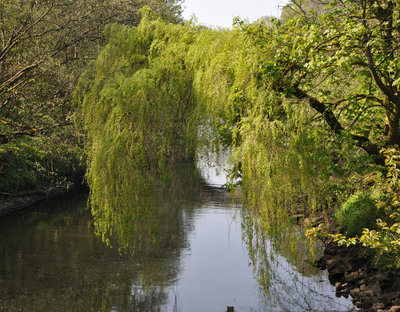A willow tree hangs over the River Kelvin
