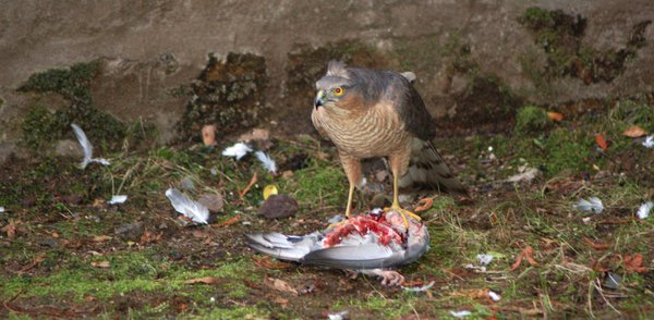 Sparrowhawk tearing at a dead pigeon caught in a Glasgow back garden
