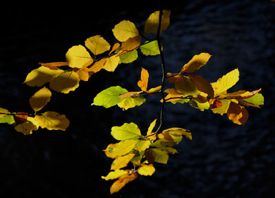 Beech leaves lit by autumnal sunshine