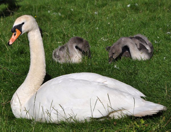 Swan with cygnets at Bingham