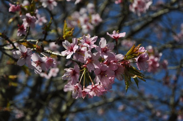 Cherry blossom in Spring at Finlaystone Country Estate