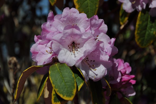 Hot pink rhododendron