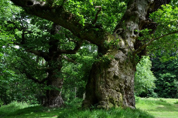 The oak trees are hundreds of years old but are still alive and providing shelter for insects and birdlife.