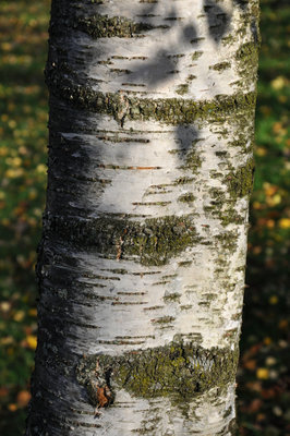 Kelvingrove Silver Birch tree bark