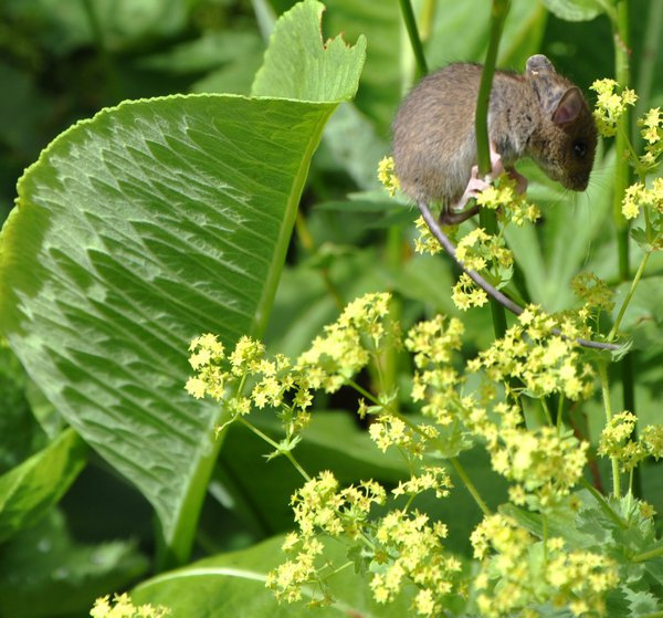 A mouse clambers through flowers in the garden borders