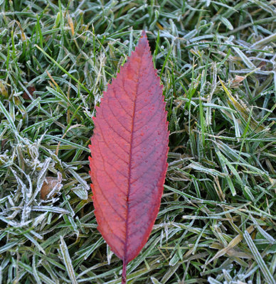 Red leaf on frosted grass in Kelvingrove Park