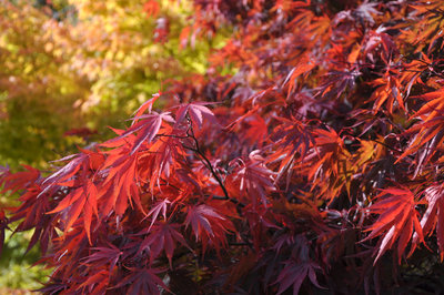 On bright October days Japanese Acers in the Botanic Gardens appear to glow