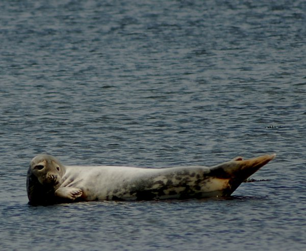 A seal in an Isle of Mousa bay appears relaxed despite the human visitors