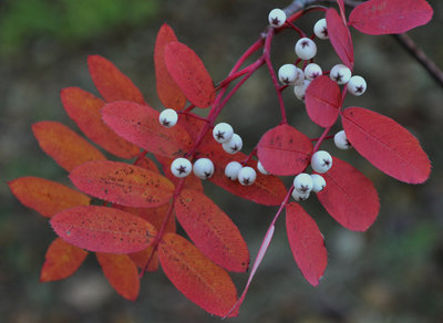 Autumnal colours of Sorbus leaves and berries in the University gardens