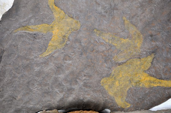 Three toed dinosaur footprints in a slab of rock found on the Isle of Skye