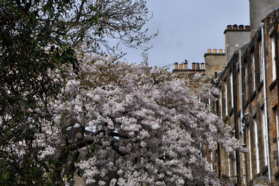 Cherry Blossom in a West End tenement back garden