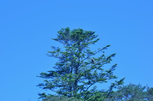 A white tailed sea eagle perched high up a conifer tree