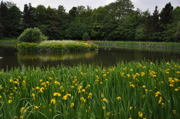 Early June Yellow Flag Irises create a border round Jury