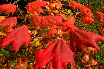 The reds of autumn in the Botanic Gardens